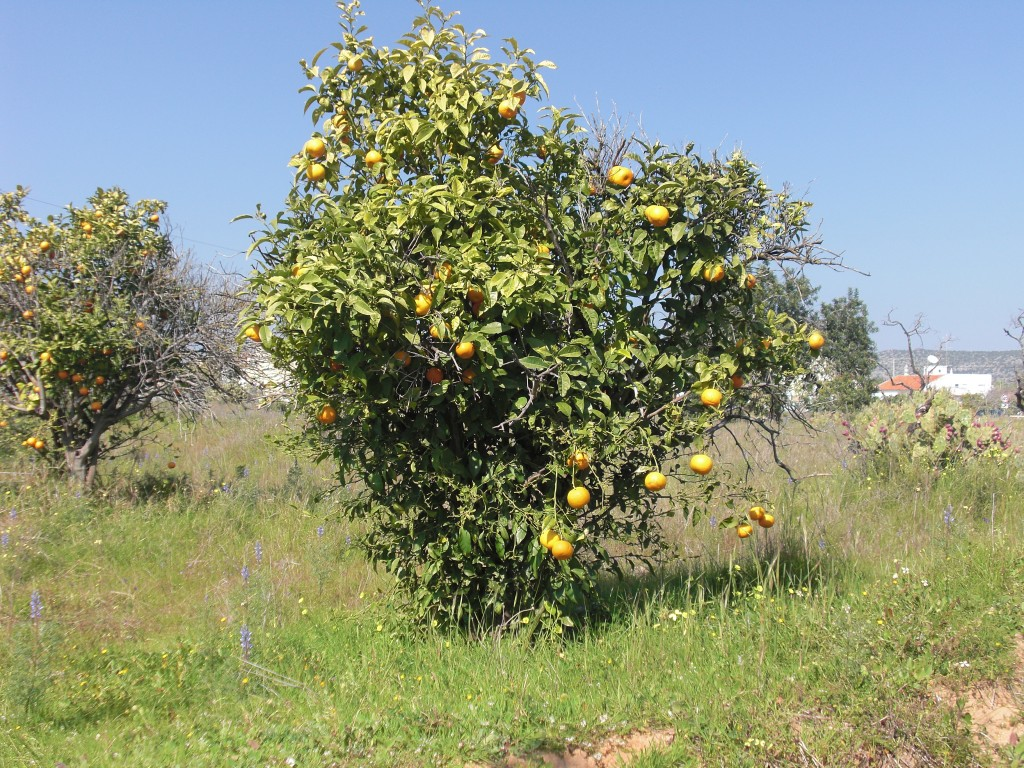 Plantation d'orangers à Algarve - Auteur: Pierre-Olivier CLEMENT-MANTION